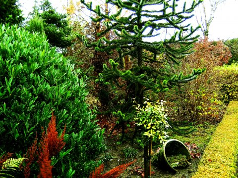 Araucaria i Peters Planteskoles have