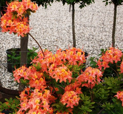 Orange Azalea i blomst
